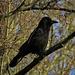 Rabenkrähe.. ich mag diese intelligenten Vögel sehr, obwohl sie manchmal auch Räuber sind.<br /><br />Corvo... mi piacciono questi uccelli molto intelligenti, anche se qualchevolta sono rapinatori:-)