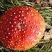 Dai funghi di terra a quelli veri: l'Amanita muscaria. La specie veniva usata in passato come antiparassitario. Pare che si immettevano in un contenitore di latte dei pezzi del fungo e, dopo un giorno di macerazione, questo veniva usato per attirare le mosche che morivano dopo averlo bevuto.