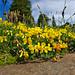 Alpen - Hornklee (Lotus alpinus)
