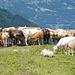 Kühe mit ihren Kälbern
