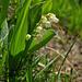 Kurz vor Innerbärgli: Maiglöckchen (Convallaria majalis)