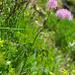Akeleiblättrige Wiesenraute (Thalictrum aquilegiifolium)
