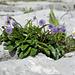 Blumeninsel im Schrattenkalk (Globularia nudicaulis und Pulsatilla vernalis)