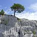 Bergföhre mit Nachwuchs (Pinus mugo)