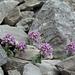 In der Karhole: Rundblättriges Täschelkraut (Thlaspi rotundifolia)
