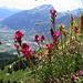 Blumenpracht. Im Hintergrund das Calanda-Massiv