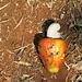 Cachu-Nuss mit der stark riechenden Cachu-Frucht