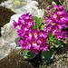 Im silikathaltigen Hohgantsandstein: Rote Felsenprimel (Primula hirsuta)