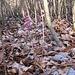 Der Botaniker [u sursass58] entdeckt eine [Preisfrage!] direkt neben dem Weg auf dem Lägernsattel.