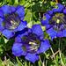 Blaue Drillinge (Gentiana acaulis)