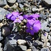 Langsporn-Veilchen (Viola calcarata).
