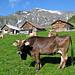 Ein Prachtsexemplar von einer Kuh - mit grosser Treichel. Ich bekam beinahe einen Hörsturz. Im Hintergrund Sittliser