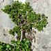 Kleiner Baum: Stumpfblättrige Weide (Salix retusa)