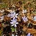 Der Waldboden ist mal wieder weitgehend lila, schee!