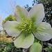selbst die Christrosen stehen noch in voller Blüte