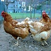 "<br />""The Chicken Dance"" <br /><br />performed by ➙ ""The Happy Chicken Dance Group"" (aus Chiggiogna)<br /><br />______<br /><br /><br /><br />♩♫♬...Gallina Fatata ...♬♫♩<br /><br />(Antonio Grosso e le Muse del Mediterraneo)<br />[http://www.youtube.com/watch?v=NocaGjvv9Vg]<br /><br />"