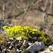 Im Zoom Blumen auf einem Felsvorsprung.