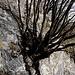 Il Carpino nella roccia