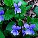 Viola silvestre