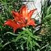 immer wieder die Szenerie mit dem leuchtenden Rot dominierend, die Feuerlilie