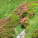 Prachtvolle Alpenrosen