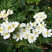 üppige Blumenwiesen - hier die Narzissblütige Anemone