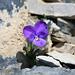 Viola calcarata  (Langsporniges Veilchen)