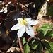 La magnifique anémone des forêts... qui offre toute sa splendeur lorsque le soleil apparaît