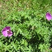 Blutstorchschnabel (Geranium sanguineum)