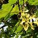 Bergahorn (Acer pseudoplatanus).