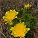 Adonis du printemps (adonis vernalis)