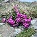 <b>Primula hirsuta</b>. Predilige suoli silicei. La fauce bianca la rende molto simile alla Primula pedemontana.