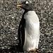 Pinguino Papua