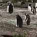 """Un intruso del tutto fuori posto, al centro della foto un Pinguino Imperatore. <br />Questa specie solitamente non si spinge così a """"nord""""."""