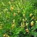 Gelbe Platterbse (Lathyrus occidentalis)