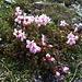 Zwerg-Alpenrose (Rhodothamnus chamaecistus)<br />selten - nur östl. des Allgäu 1000 - 2400 m