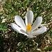 Frühlings-Krokus (Crocus albiflorus)
