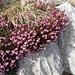 Schneeheide (Erica carnea)