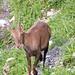 Top model ibex en train de poser.