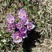 """<b>Crocus</b>. Il nome del genere deriva dal greco kròkos che significa """"filo di tessuto"""". Si riferisce ai lunghi stigmi ben visibili nel Crocus sativus."""