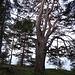 ausdrucksstarke Baumgestalten 2