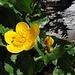 noch ein Vertreter der Familie Ranunculaceae