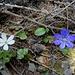 die abschliessende Variante der Familie Ranunculaceae - in der üblichen und der selteneren weissen Blattfarbe ...