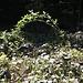 Eine Himbeerstaude hat sich von den Brombeerdornen befreit