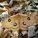 Ein Nagelfleck ( Agli tau) aus der Gattung der Nachtpfauenaugen, sehr gut getarnt im dürren Laub