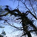 Der mit Efeu bewachsene morsche Baum hängt über die Felsen hinaus