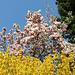 Magnolien und Forsythien - Blütenpracht am Bodensee
