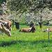 Die Kühe freuen sich des schönen Wetters wegen ;-)