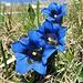 Enzian-Trio. Die Alp Sigel ist das Blumenparadies des Alpsteins. Leider haben die Krokusse durch Kälte und Neuschnee arg gelitten