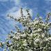 Baumblüte am Bodensee